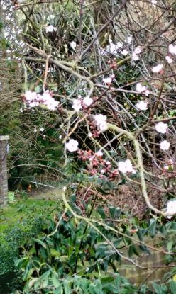 cherry blossom2