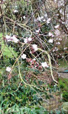 cherry blossom3