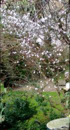 cherry blossom4