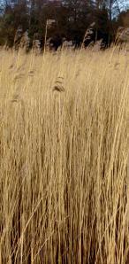 winter wheat1