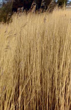winter wheat2
