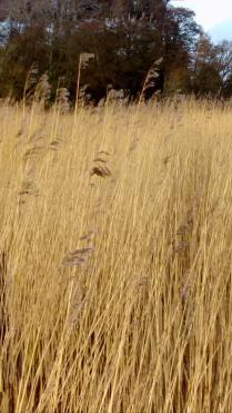 winter wheat3