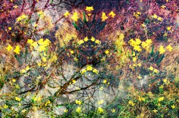 daffodils1 pm