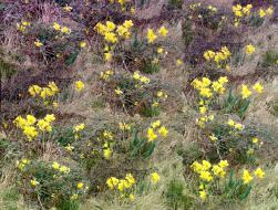 daffodils1_stitch1